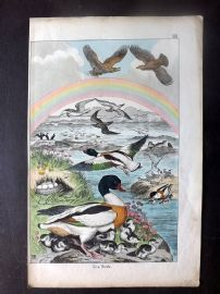 Adam White C1860 Hand Col Bird Print. Sea Birds